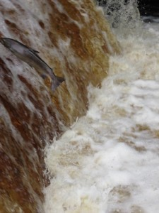Salmon Leaping at Stainforth